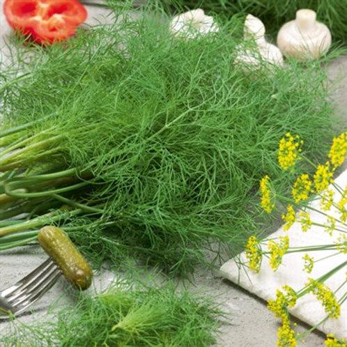Herb, Dill Fernleaf 3.25 in pot
