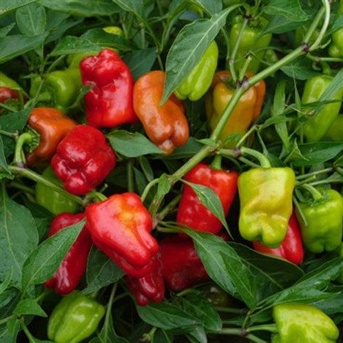 Pepper, Cajun Belle 2 pk
