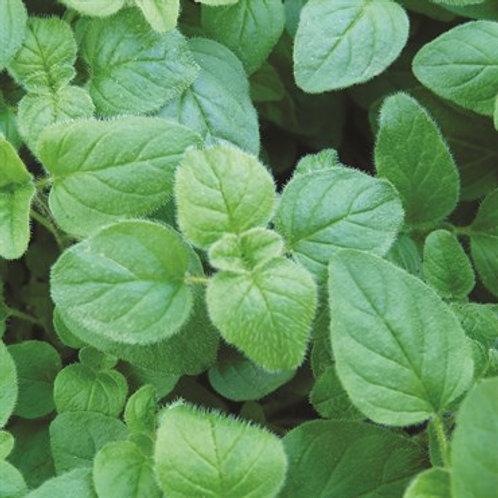 Herb, Oregano Greek 3.25 in. pot