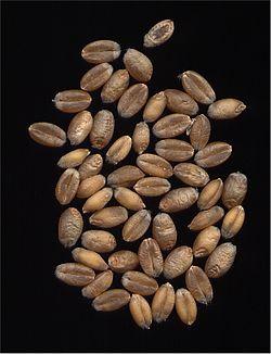 Foto de un grano de trigo, tal y como sale, porque probablemente nunca viste uno entero