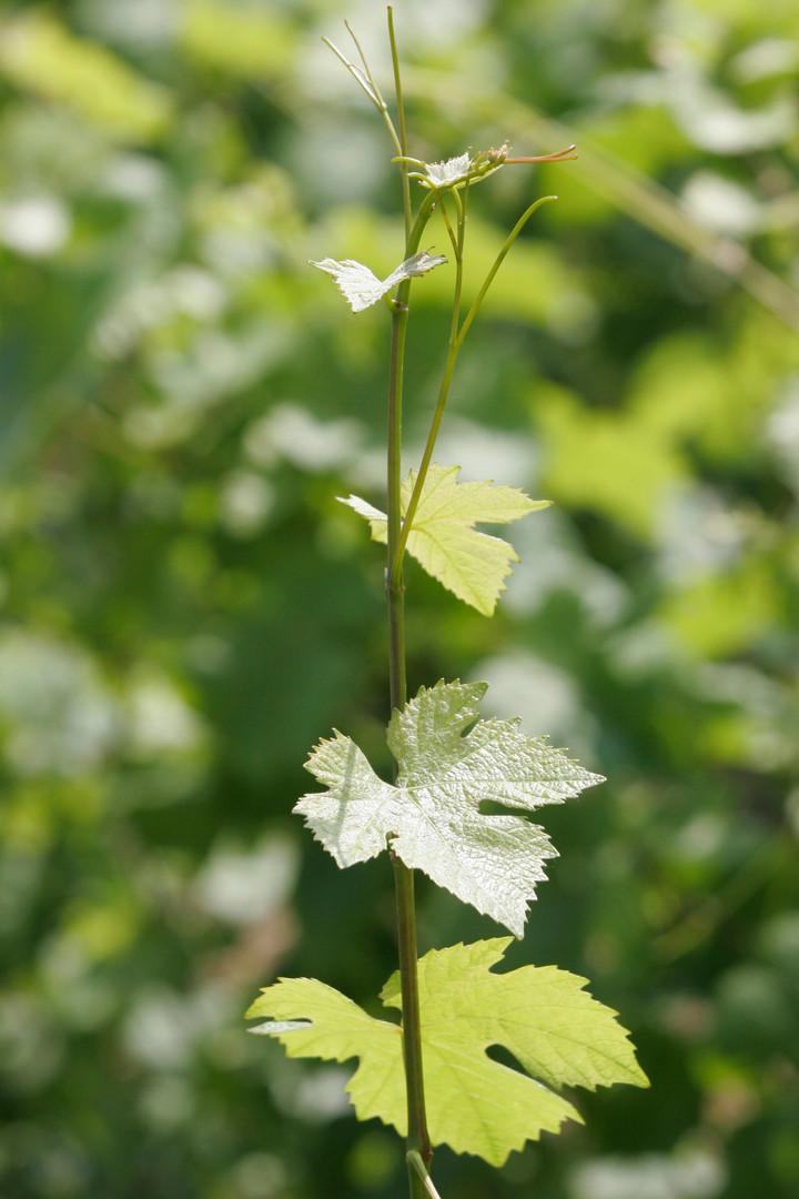 feuilles vigne - crédit BIVB
