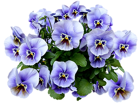 pansy-2402938_960_720.png