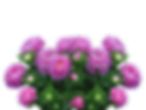 asters-2665289_1280.png