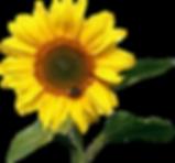 sun-flower-1385990_960_720.png