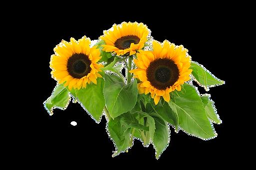 sun-flower-2761788_960_720.png