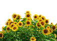 sunflower-2760148_1280.png
