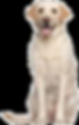 81-818292_labrador-retriever-png-high-qu
