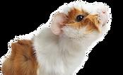 kisspng-guinea-pig-dog-puppy-cat-america