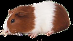 kisspng-guinea-pig-rodent-domestic-pig-a