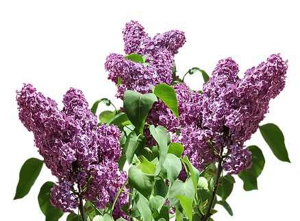 lilac-2882686_960_720.png