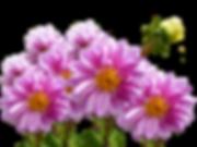 dahlias-2680121_1280.png