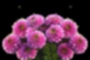 dahlias-2596041_1280.png