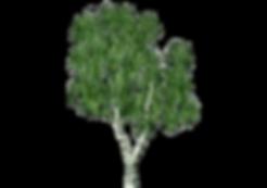 birke.1.750x527-1_1519383864.PNG