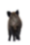 boar-3240210_1920_edited.png