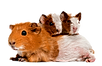 kisspng-guinea-pig-mouse-rodent-hamster-