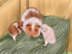 v4-728px-Care-for-a-Pregnant-Guinea-Pig-