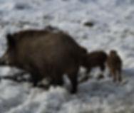 boar-641054_1920.jpg