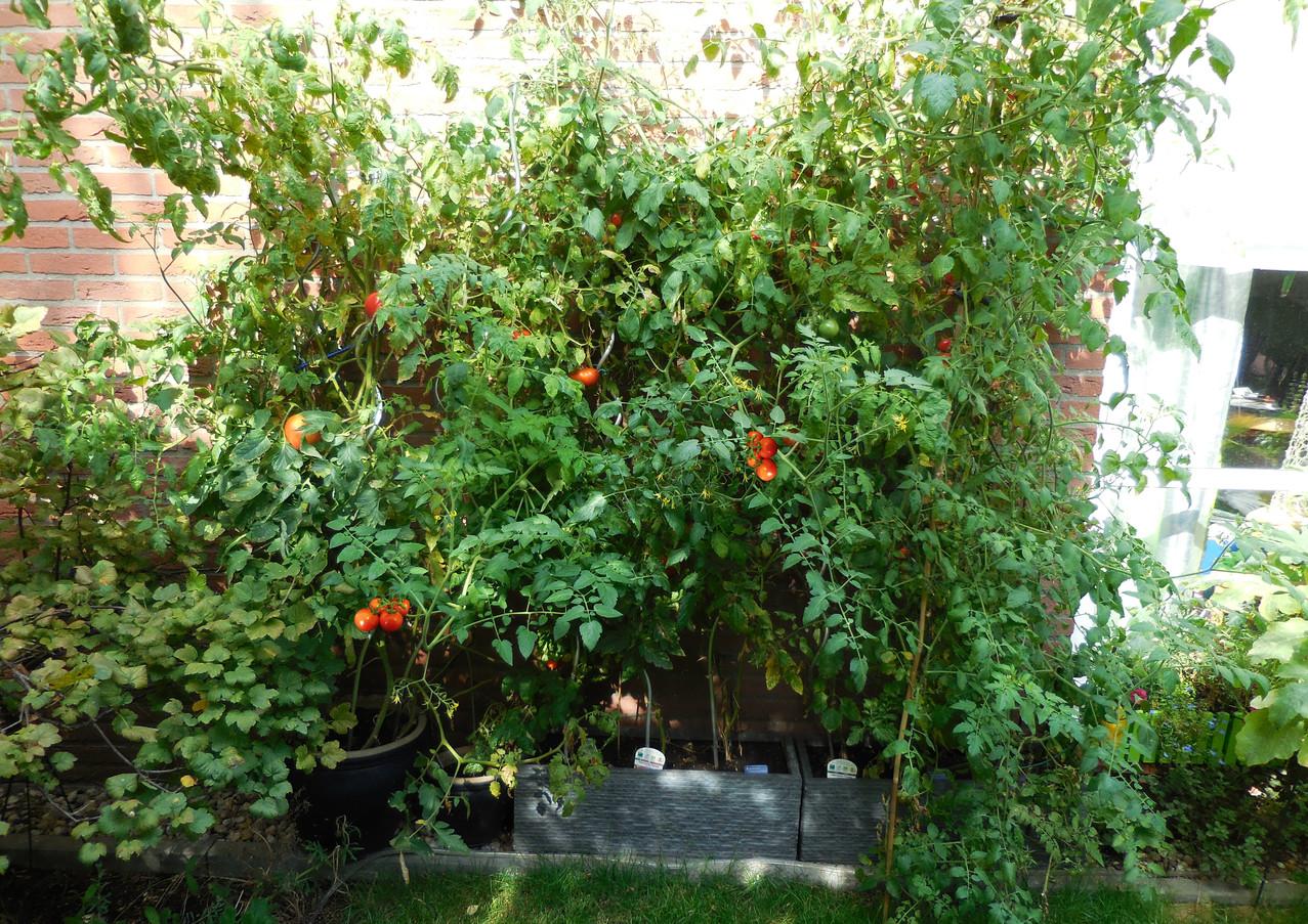 Unsere Tomaten im september