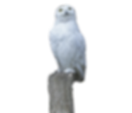snowy-owl-449986_edited.png