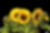 sun-flower-2914972_960_720.png