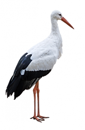 Storch-png.