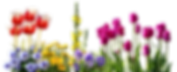 pansy-2973064_960_720.png