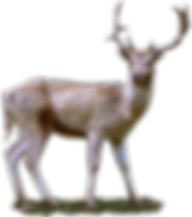 roe-deer-2687010_1280.png