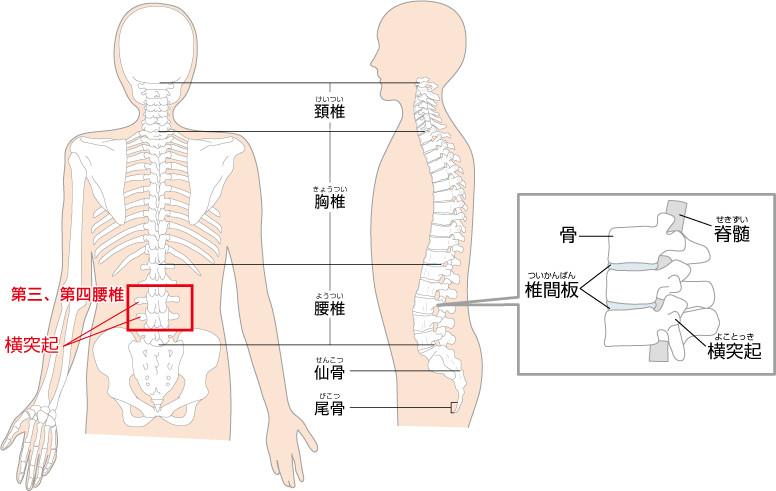 第四腰椎・図