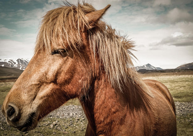 Icelanding Pony (A4 and A3 only)
