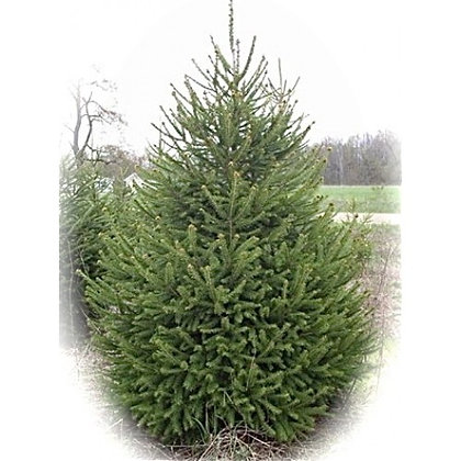 Norway Spruce 5ft