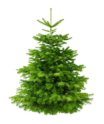 Nordmann Fir 10ft
