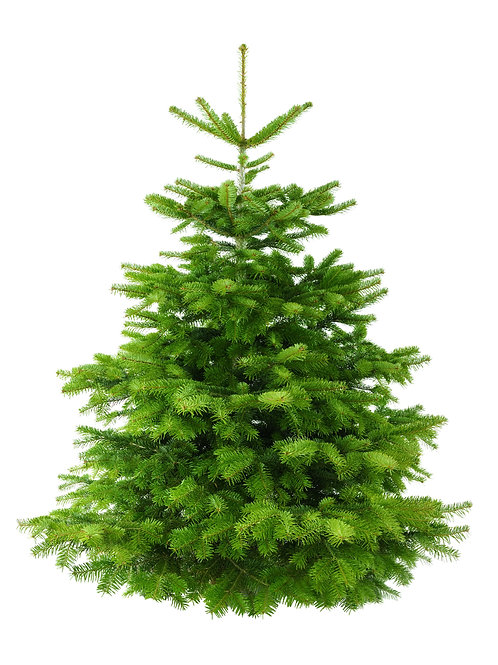 Nordmann Fir 3ft