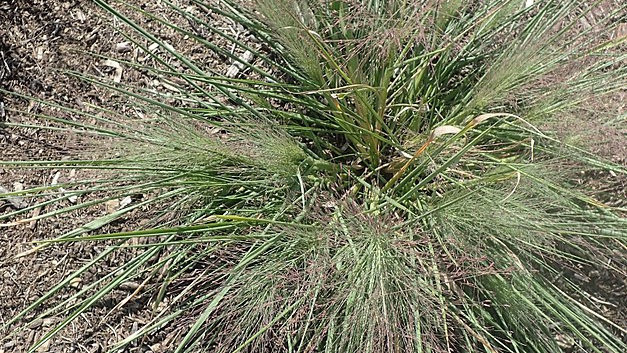 Schizachyrium scoparium (Little Bluestem)