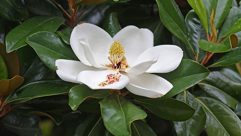 Magnolia grandiflora (Southern Magnolia--Little Gem)