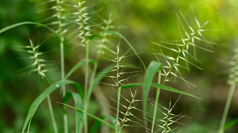 Elymus hystrix (Bottlebrush Grass)