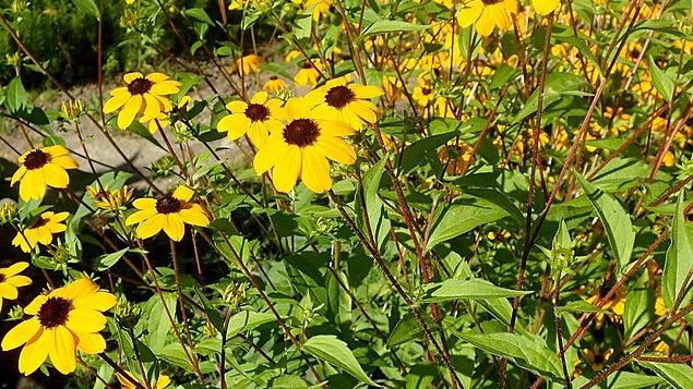 Rudbeckia triloba (Brown-Eyed Susan)