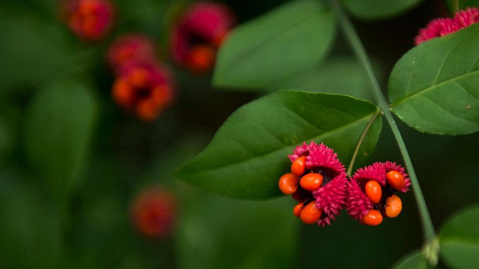 Euonymus americanus (Strawberry Bush)