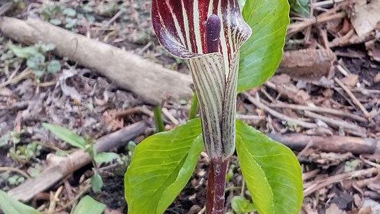 Arisaema triphyllum (Jack In the Pulpit)