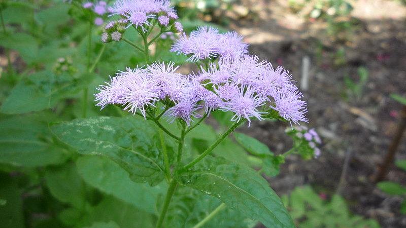 Conoclinium coelestinum (Mistflower)