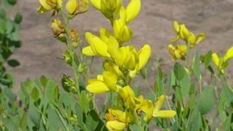 Baptisia sphaerocarpa (Large Yellow Indigo)
