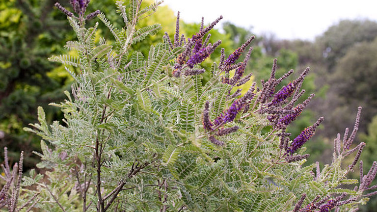 Amorpha nana (Fragrant False Indigo)