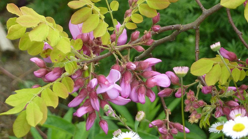 Robinia hispida (Bristly Locust)