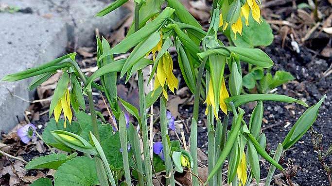 Uvularia grandiflora (Bellwort)