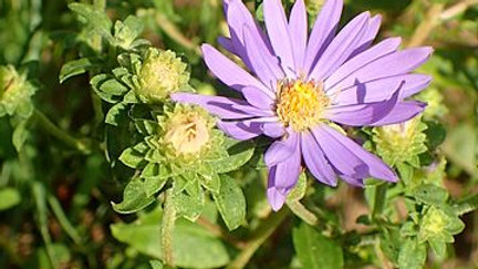 Aster spectabilis (Showy Aster)