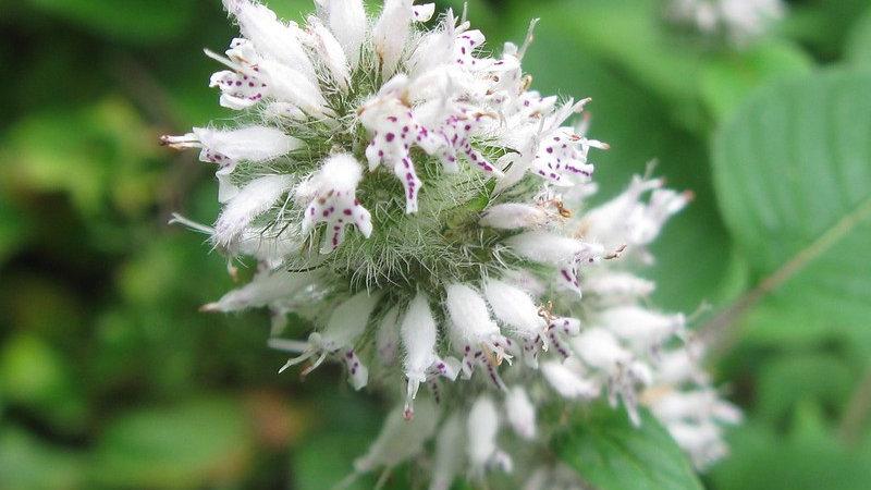 Blephilia hirsuta (Hairy Wood Mint)