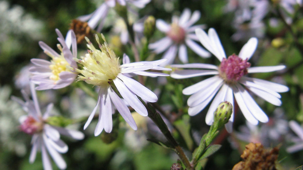 Symphyotrichum cordifolium (Heart-Leaved Aster)