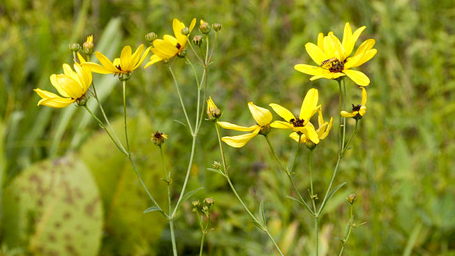 Coreopsis tripteris (Tall coreopsis)
