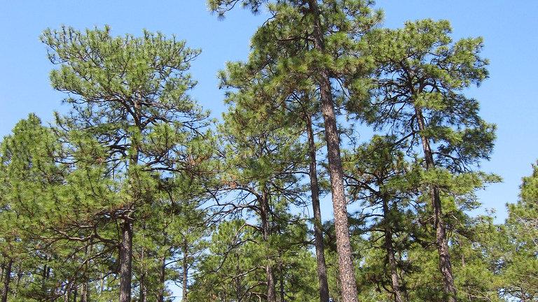 Pinus palustris (Logleaf Pine)