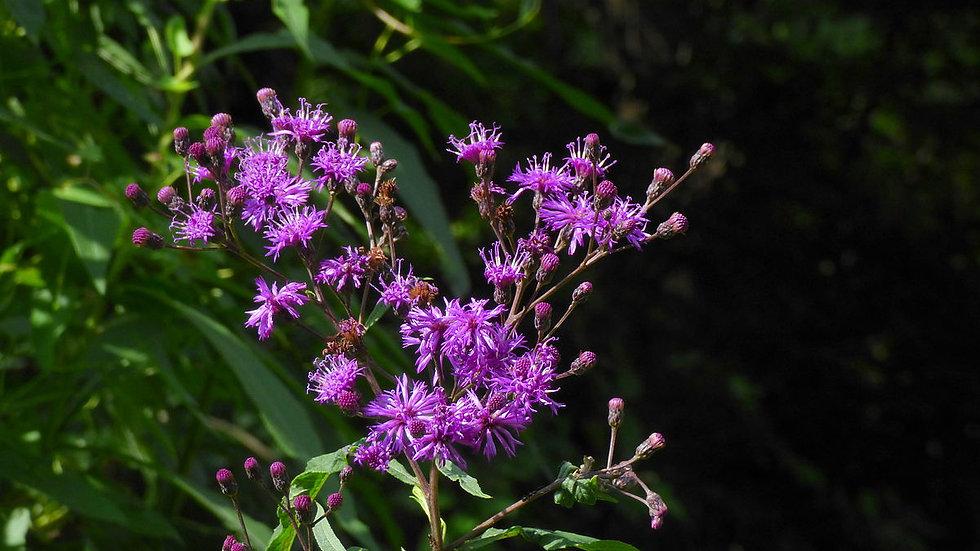 Vernonia gigantea (Giant Ironweed)
