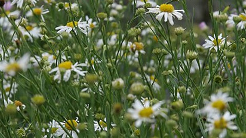 Boltonia asteroides (White Doll's Daisy)